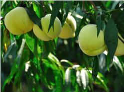 第十一届肥城金秋品桃节将于8月18日举行