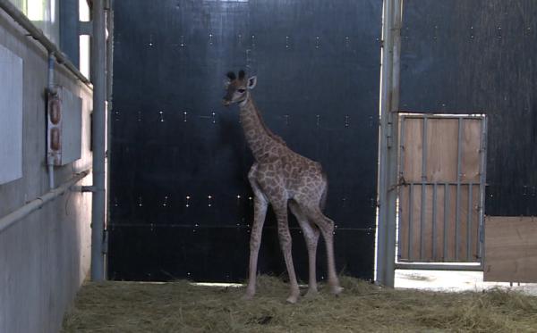 威海首只自然分娩小长颈鹿出生