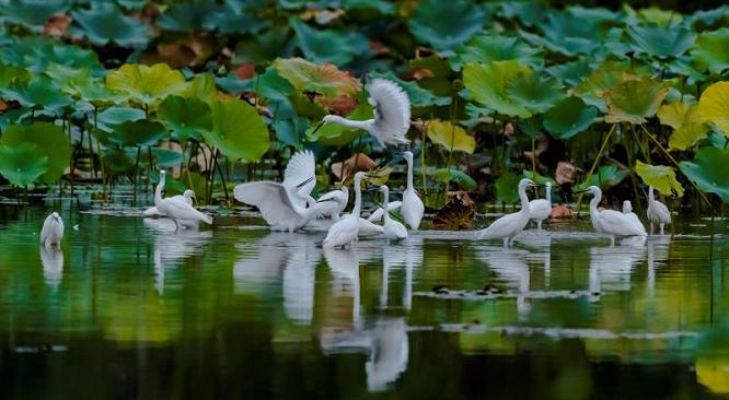 嬉戏荷田间!台儿庄运河湿地万只白鹭忙归巢
