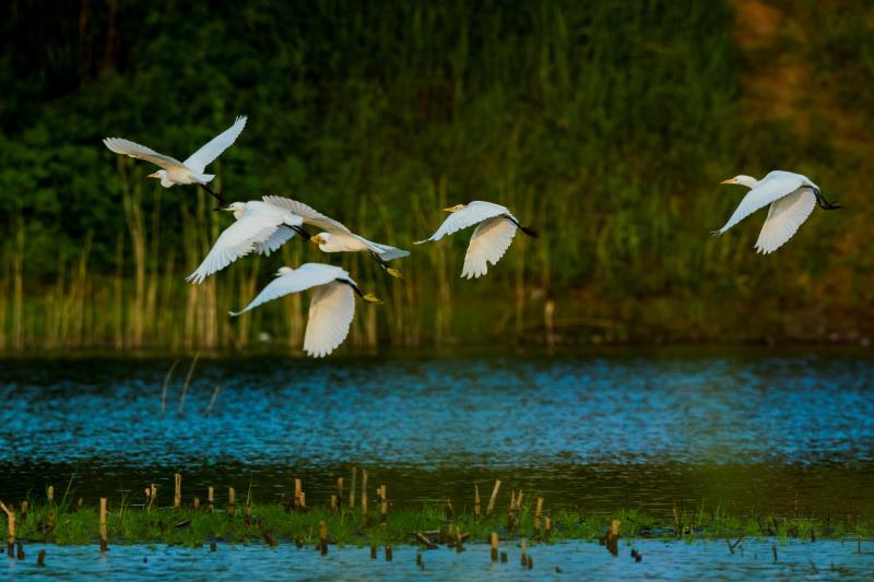 时而盘旋、时而俯冲!数百只白鹭现身枣庄九龙湾湿地齐河段