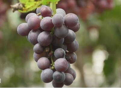 金秋画中话丨高密:千亩葡萄熟了 果农钱包鼓了