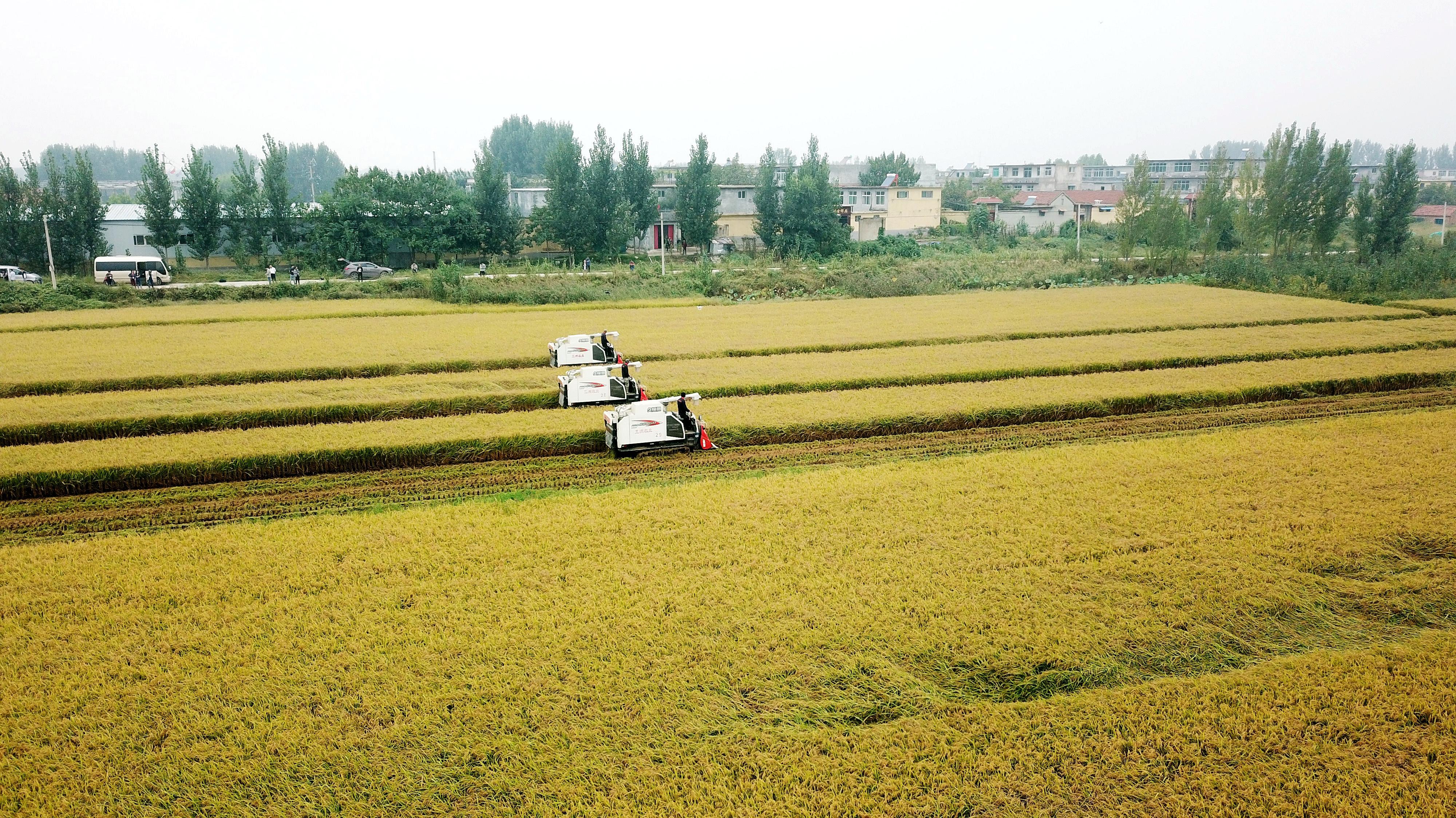 晒·秋|济南万亩黄河水稻喜获丰收 金色田野美丽动人