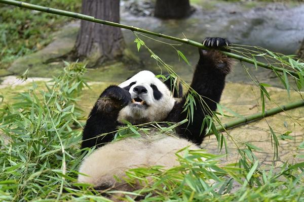"""我们到四川迎熊猫(一):大熊猫吃月饼过中秋""""一顿能吃俩"""""""