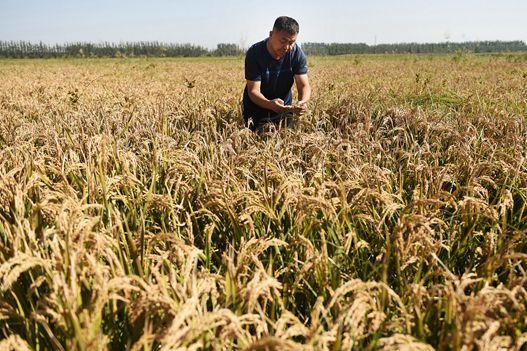 晒·秋 | 邹平沿黄生态高效现代农业示范区红高粱喜获丰收