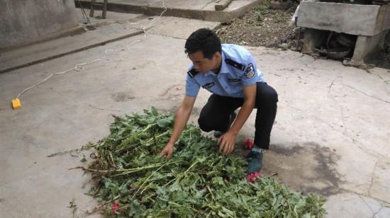 东阿一村民赶集路上捡罂粟种子 种植800株被判刑半年