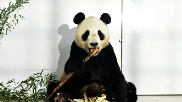 """国宝级""""帅哥""""已抵达淄博原山 十一假期正式与游客见面"""