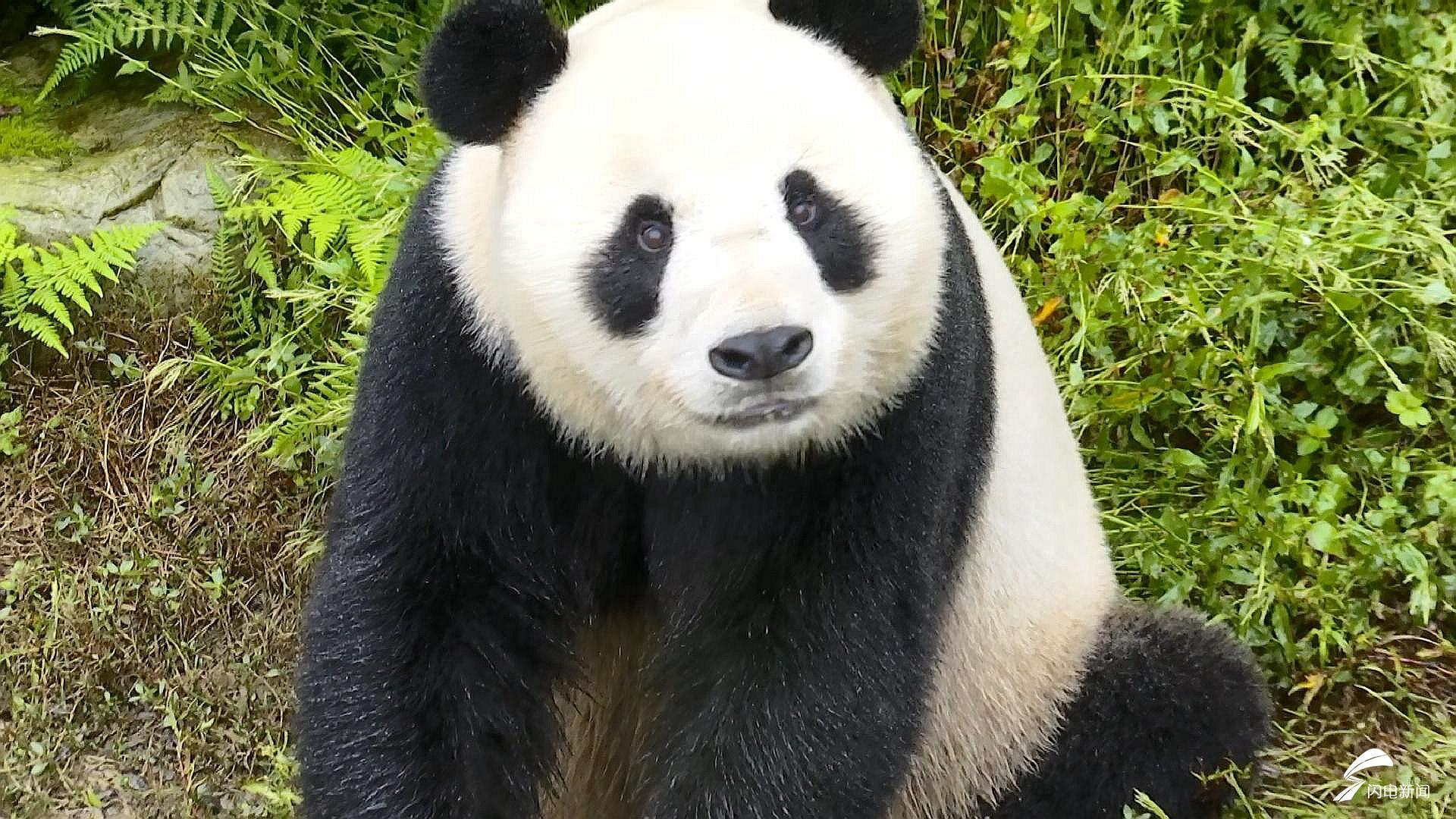 """网红大熊猫""""彤彤""""已从四川发往山东 十一假期将亮相原山"""