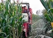山东秋粮实行市场化收购  今年玉米价格总体逐步上涨