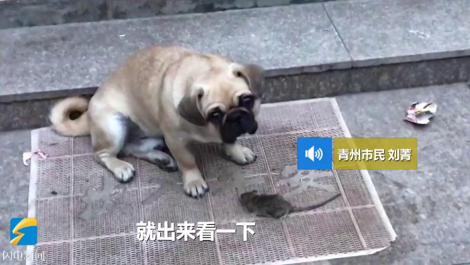 43秒丨萌犬爱捕鼠!潍坊一市民家上演狗鼠大战