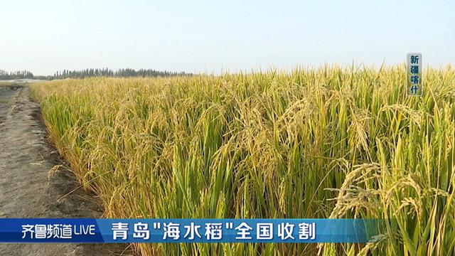 水稻2_副本111.jpg