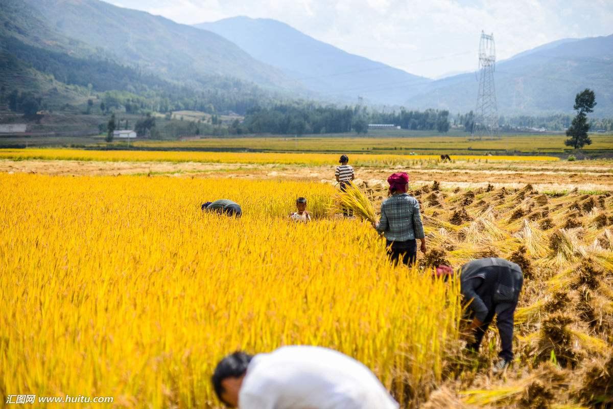 山东玉米收获过九成 小麦播种过半