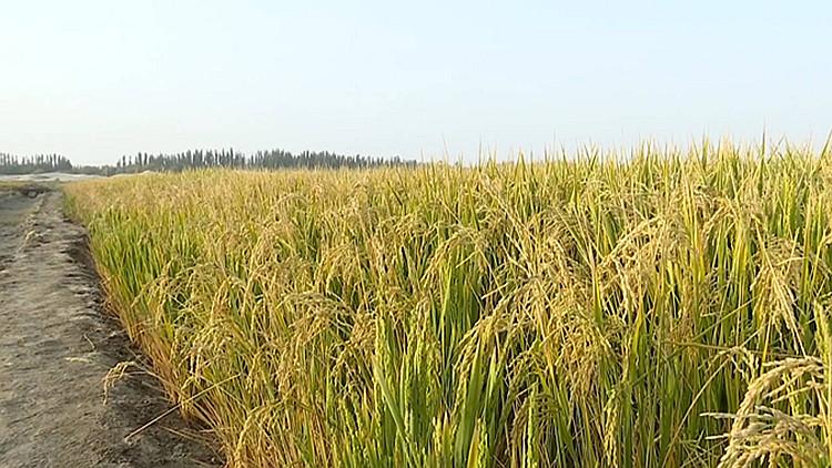 127秒 | 喀什海水稻长势喜人 当地人可以用自己种的大米吃手抓饭了