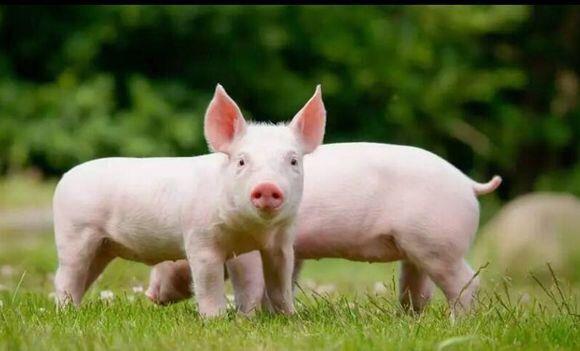 山东多举措严查非洲猪瘟 截至目前全省无非洲猪瘟疫情