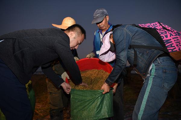 我国首次进行海水稻大范围测产