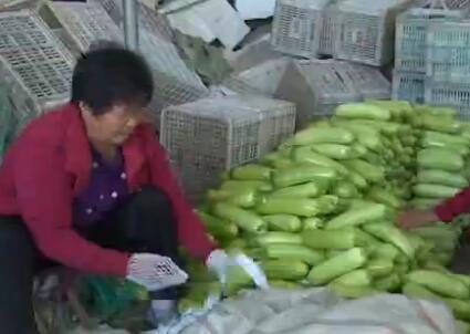 弘扬民族精神 奋斗精神丨补种蔬菜迎上市 寿光灾区喜秋收