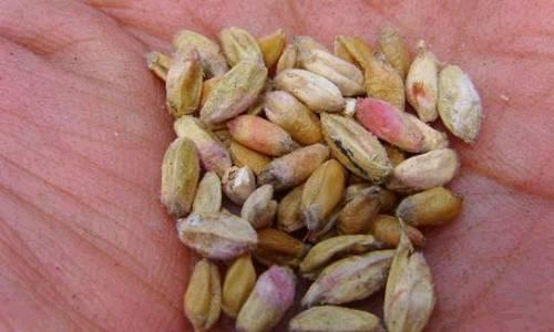 山东将切实做好小麦赤霉病防控工作