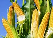 山东推广玉米晚收技术  晚收10天亩增产可达50公斤以上
