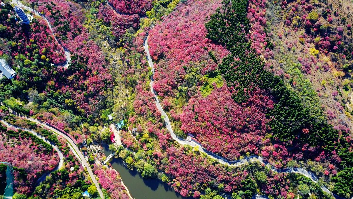 最美深秋丨济南红叶谷进入最佳观赏期 俯瞰满山红色热情如火