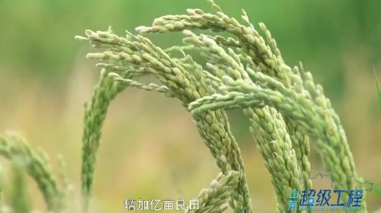 山东超级工程丨袁隆平和他的海水稻梦