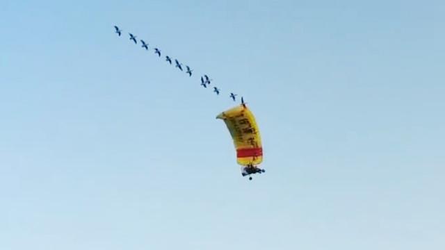 35秒丨90后小伙驾动力伞与大雁齐飞 最长能飞10多分钟