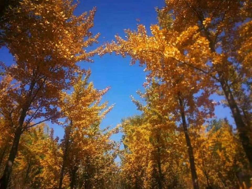 看济南黄河大堤千亩银杏林!走一走黄金地毯,赏一抹秋色