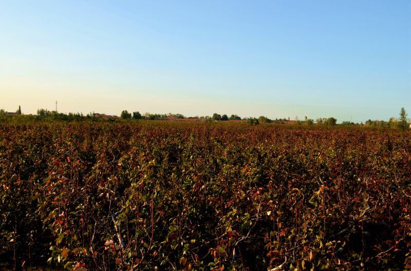 美呆!阳信20万亩鸭梨园梨叶变红 遍地红叶如霞似锦