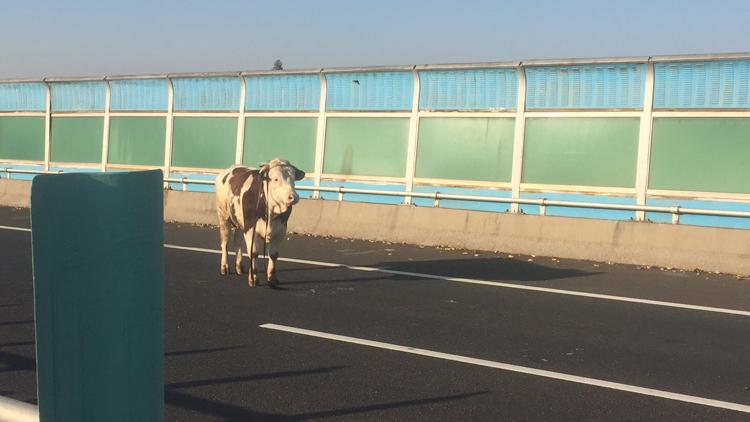 27秒丨 一头牛从货车上掉下受到惊吓 高速路上乱蹿带来隐患