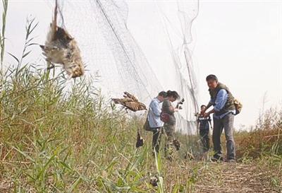 紧急通知!山东将严打乱捕滥猎和非法经营候鸟违法犯罪活动