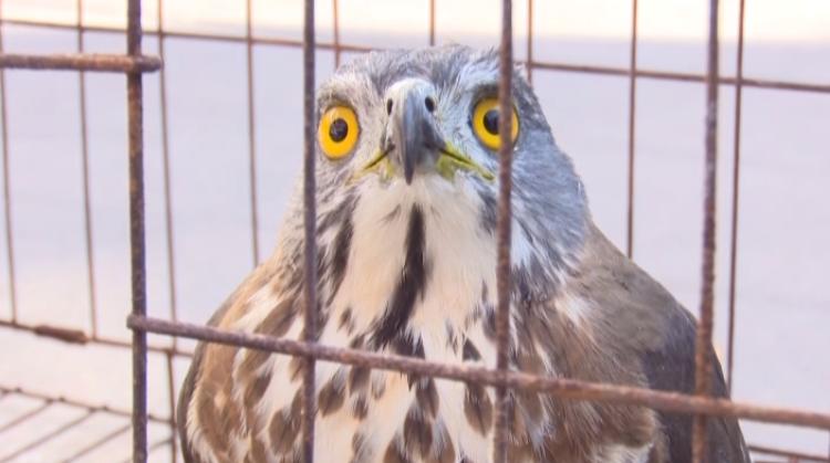 """一只凤头鹰""""落难""""邹城市民院落中 属国家二级保护动物"""