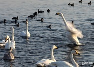 场面壮观!千余只大天鹅迁徙荣成 栖息港湾组团越冬