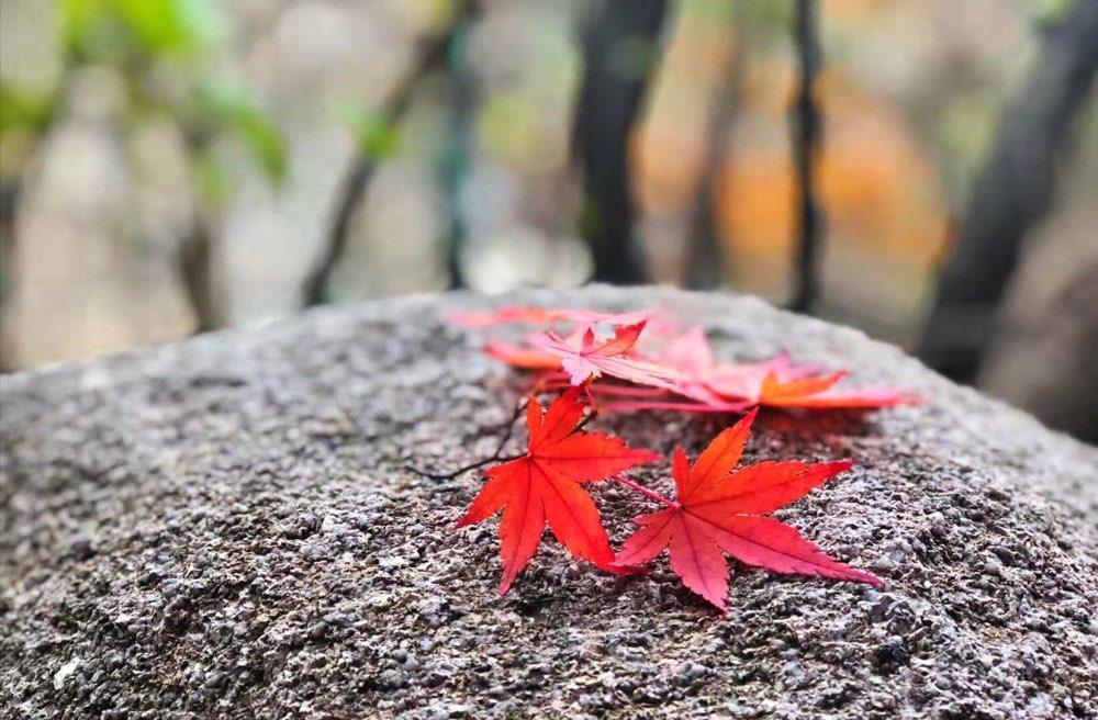 层林尽染美不胜收 看秋雨后崂山红叶美景