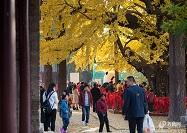 """高清丨日照千年古银杏树成""""网红""""这么美的银杏树你见过吗?"""