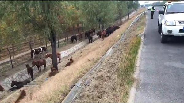 淄博:司机咳嗽致货车翻进边沟 近30匹野马脱缰上高速