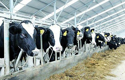 山东2017年奶牛存栏117.8万头居全国第六
