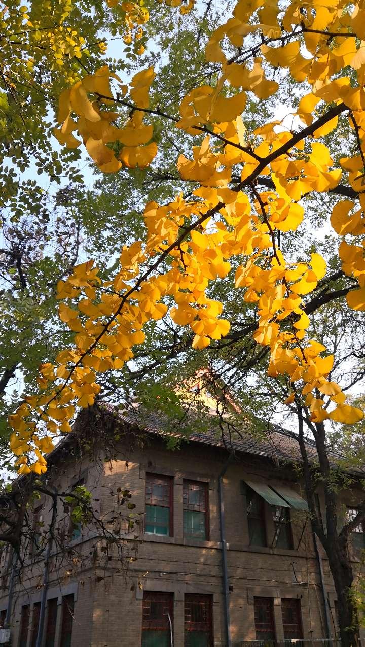 深秋校园如诗如画 金黄银杏叶刷出秋天本色