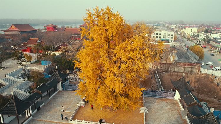 飞吧山东丨临沂有棵3000多年银杏树 杏叶飘落满地金黄