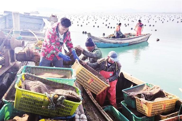 """组图:荣成海带""""播种""""忙 船只往返穿梭海中"""