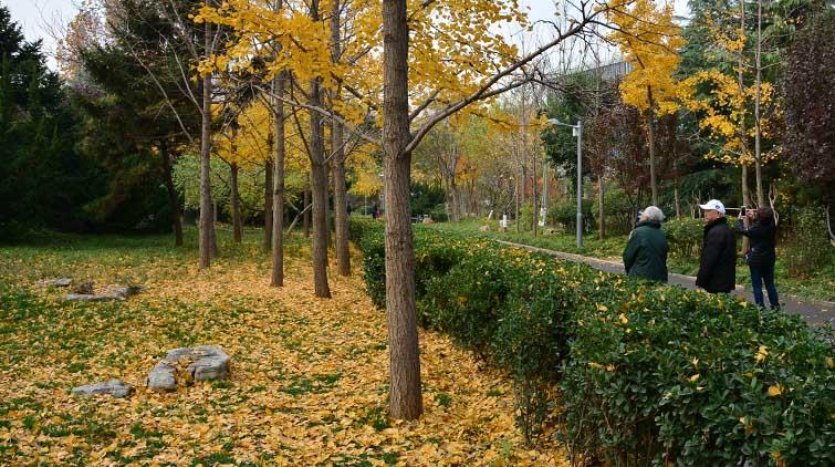 看银杏树不用跑远!济南泉城公园依旧一片深秋美景免费看