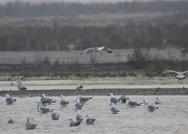 组图丨数万只水鸟在青岛胶州湾觅食越冬 场面浩荡
