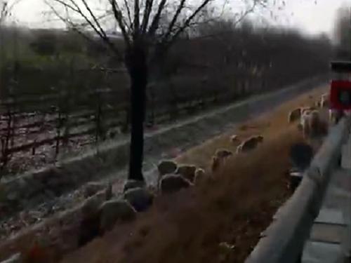 """草料告急相中护坡上的绿化带 淄博一老人""""赶羊""""上高速"""