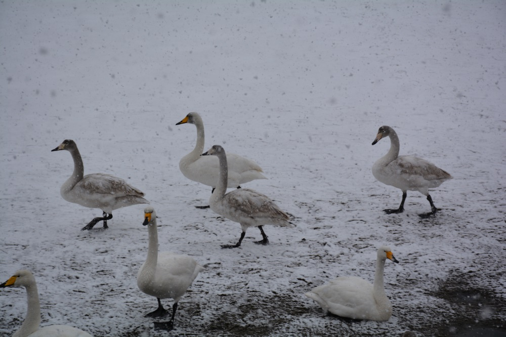 82秒 | 大雪纷飞 荣成天鹅为冬日增添灵动