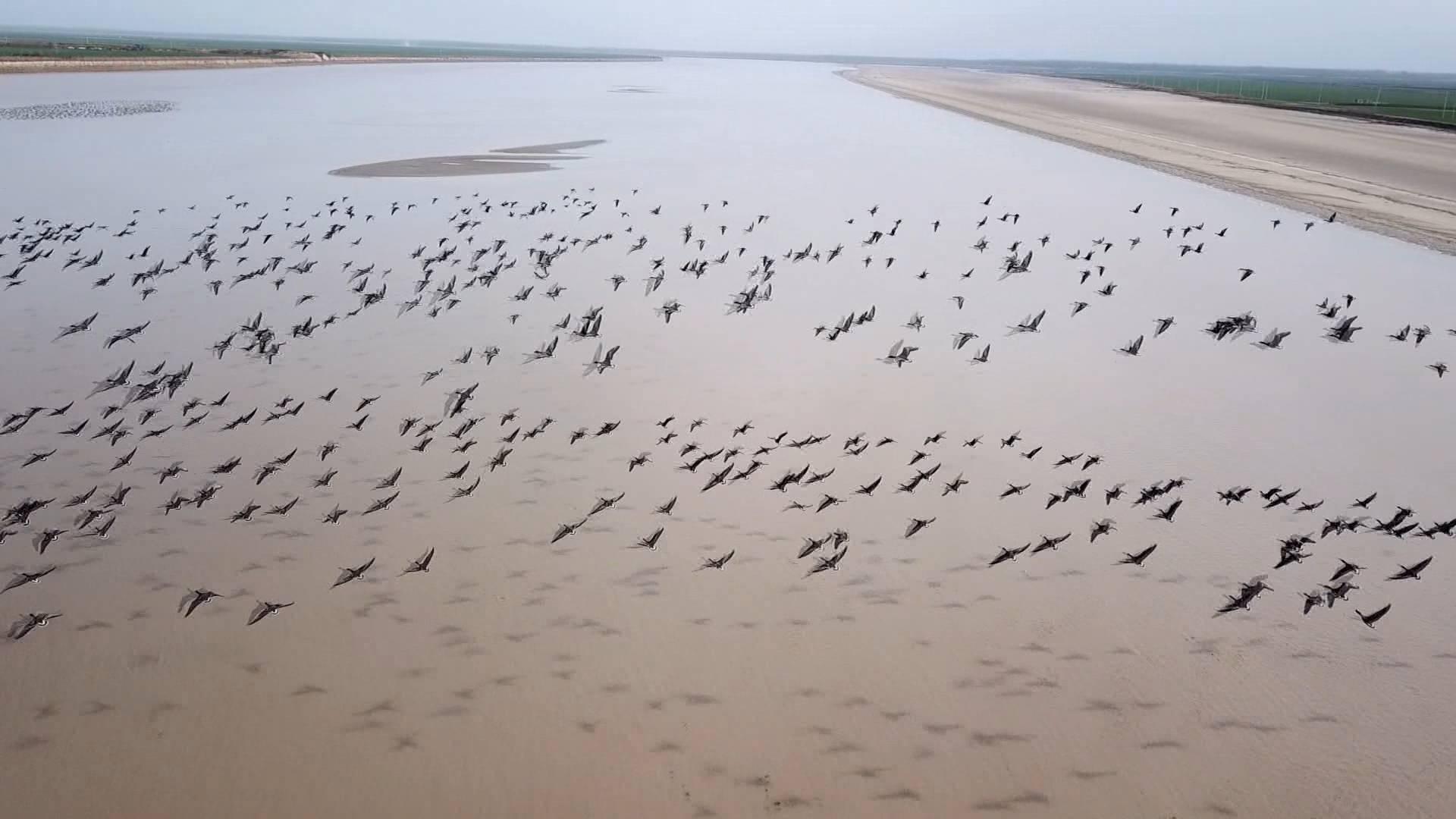 79秒|翩然而至 数万只大雁飞抵东明黄河滩区过冬