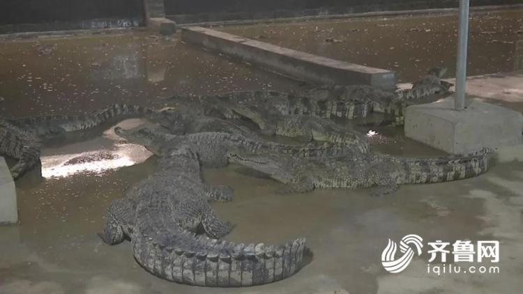够生猛!菏泽这群年轻人靠养鳄鱼走红,还带动周边产业发