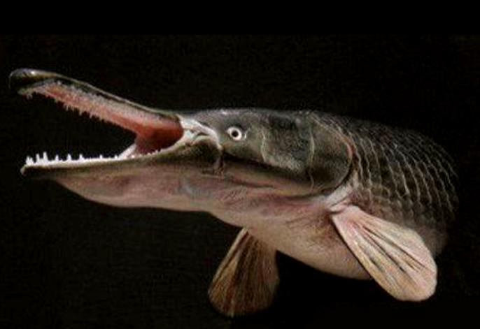 """78秒丨淄博一河流出现北美物种""""鳄雀鳝"""" 与食人鱼齐名卵有剧毒"""