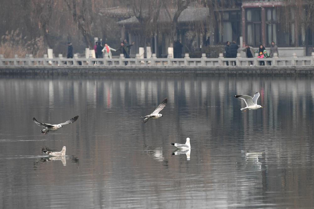 """稀奇! 海鸥""""入驻""""济南大明湖了"""
