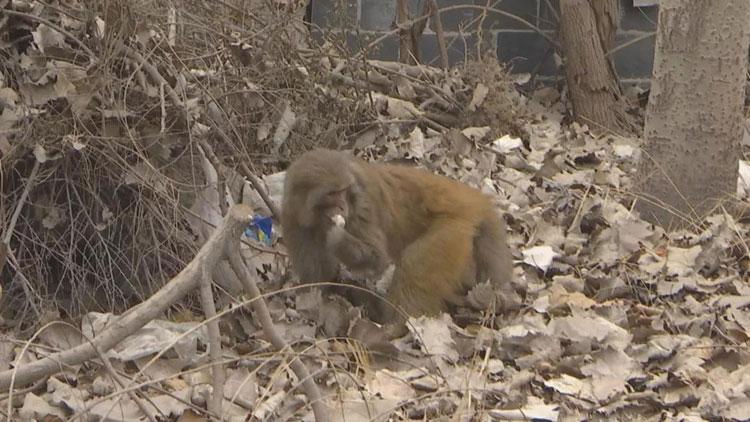 寻主启事!济南路边树林发现两只猴子 天冷了请快带它们回家
