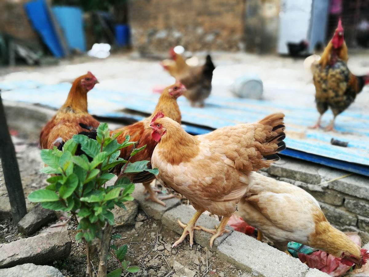 山东制定原种鸡群禽白血病净化国家标准