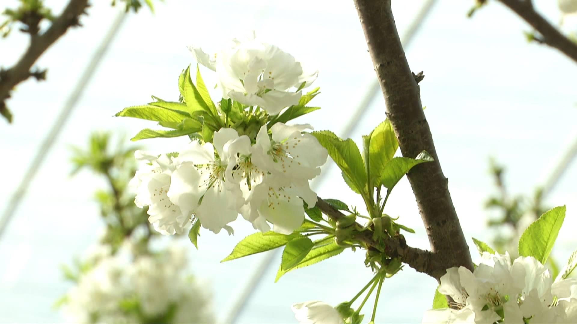 50秒 | 能结出大红樱桃的是樱桃花 你知道它和樱花的关系吗
