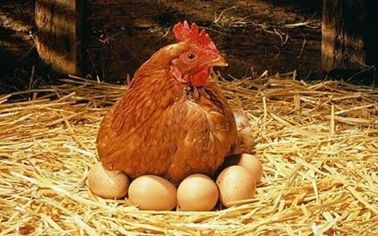 山东发布规范蛋鸡养殖用药公告 87种兽药产蛋期禁用