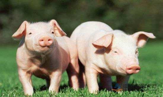 春节期间山东全力稳定生猪生产保障市场供应